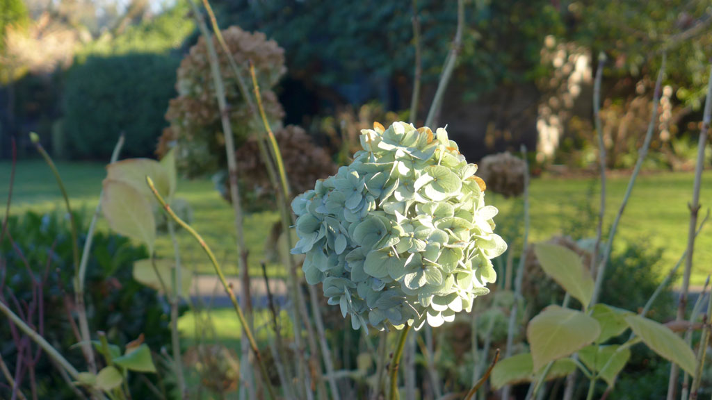 How To Prune Hydrangeas In The Pnw